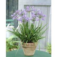 Agapanthus Peter Pan - Nile Lily