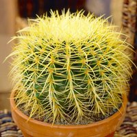 Set of THREE Golden Barrel Cactus Plants