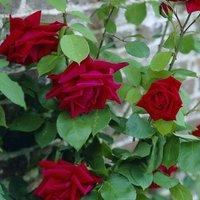Rose Ena Harkness - Climbing Rose