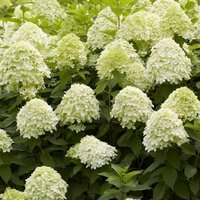 Hydrangea paniculata Limelight - EXTRA LARGE Flowering Plant