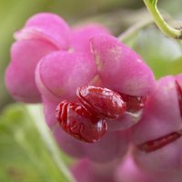 Euonymus phellomanus - Corktree or Spindle Bush - Large Specimen