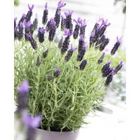 SPECIAL DEAL - French Lavender - Lavender stoechas Anouk - Midnight Purple Lavendula - Pack of FIVE Plants