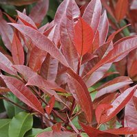 Photinia Red Robin - LARGE Evergreen Specimen - 160-180cm