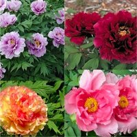 Tree Peony Collection -  Selection of THREE Plants - Paeonia