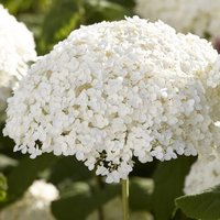 Hydrangea arborescens Incrediball - Strong Annabelle - Giant Football Size White Flowers
