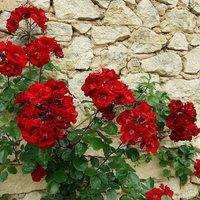 Rose Danse de Feu - Climbing Rose