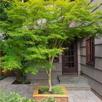 LARGE 120-140cm Specimen Acer palmatum dissectum Seiryu - Japanese Maple Tree