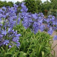 Agapanthus africanus Blue Umbrella - Blue Lily of the Nile