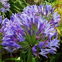 Agapanthus Charlotte - Hardy Blue Nile Lily