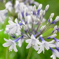 Agapanthus africanus Twister - Hardy Bicolour Blue and White Twister Nile Lily