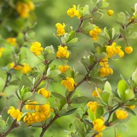 Berberis buxifolia Nana