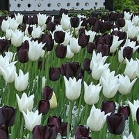 Tulip Black and White Designer Collection - Monochrome - 100