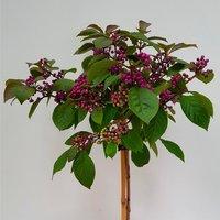 Callicarpa bodinieri Autumn Glory - Large 150cm Standard Tree