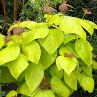 Catalpa bignoides Aurea - Golden Indian Bean Tree - LARGE
