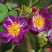 Climbing Rose - Velichenblau