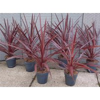Cordyline australis Red Star - Patio Torbay Palm - Pack of T