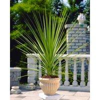 Cordyline australis Verde - Green Torbay Palm