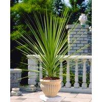 Cordyline australis Verde 100-120cms tall Specimen