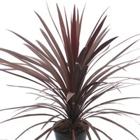 Cordyline australis Red Star - Purple Torbay Palm - 80-120cms LARGE SPECIMEN