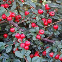 Cotoneaster franchetii - Evergreen Shrub