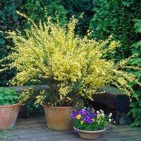 Cytisus praecox Allgold - Broom in Bud