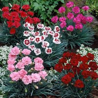 Fragrant Cottage Garden Pinks Dianthus Collection in Bud and Bloom - Pack of FIVE