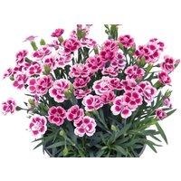 Dianthus Pink Kisses - Fragrant Pink
