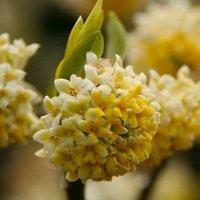 Edgeworthia chrysantha Nanjing Gold - Paperbush - LARGE Heavy Specimen Plants