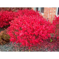 Euonymous Alatus - Burning Spindle Bush Euonymus - XXXL 150cm Heavy Specimen