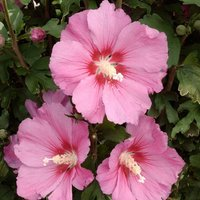 SPECIAL DEAL - Hibiscus syriacus Pink Giant - Large Flowered Pink Tree Hollyhock