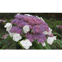 Hydrangea aspera Velvet and Lace - LARGE Sargent Hydrangea Plant