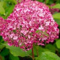 Hydrangea arborescens Sweet Annabelle®