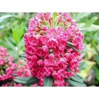 Kalmia Angustifolia Rubra - Mountain Laurel - Shrub - Approx 3L Pot