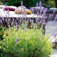 Lavender Platinum Blonde - Multi-Award winning Hardy Evergreen variegated
