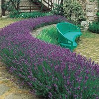 Pack of 24 Fragrant English Lavender Plants - Lavandula Angu