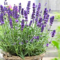 BULK PACK - Lavendula angustifolia Hidcote - English Lavende