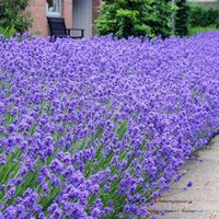 Munstead English Lavender - Lavandula angustifolia Munstead