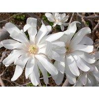 Magnolia Stellata - Large Specimen Plant