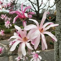 Magnolia stellata Rosea - Pink Star Magnolia - Specimen Plan