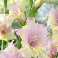 Gladiolus Mon Amour - Pack of 25 Gladioli Corms