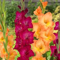 Gladiolus National Velvet - Pack of 25 Gladioli Corms