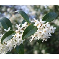 Osmanthus X Burkwoodii - Rounded Evergreen Shrub - Approx 2-3L Container