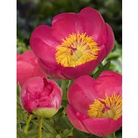 Paeonia lactiflora Flame - Large Flowered Herbaceous Peony