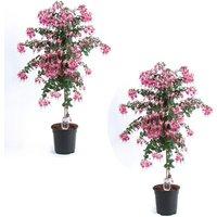 PRE-ORDER: Pair of Fuchsia Tree Standards Paula Jane - Gorgeous Patio Fuchsia Trees