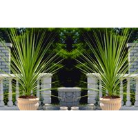 Pair of LARGE Cordyline australis Verde - Hardy Green