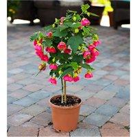 Abutilon hybrida PINK - Flowering Maple