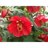 Abutilon hybrida RED - Flowering Maple