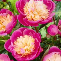 Peony Bowl of Beauty - Exotic Looking Fragrant Garden Peony