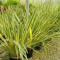 Phormium tenax variegata - New Zealand Flax - EXTRA LARGE SPECIMEN - 150-200cm tall