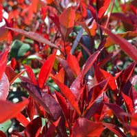 WINTER SALE - Photinia Carre Rouge - Red Robin Shrub